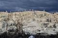 Tierra del Fuego's cormorans