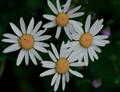 Four Daisy