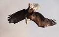 amercian bald eagle from underside, as it flips against hazy alaskan sky