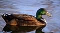 chillin duck