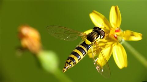 Fake wasp