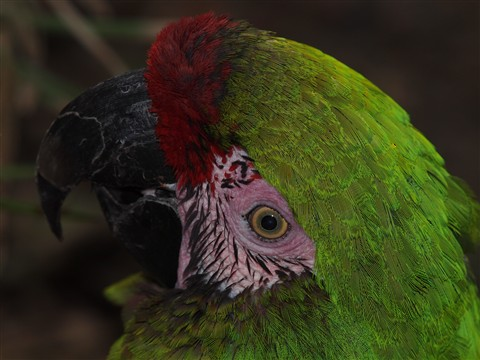P2183481_Military Macaw