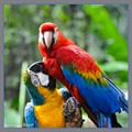 Parrots at Brazil