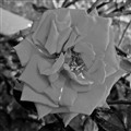 Black rose!