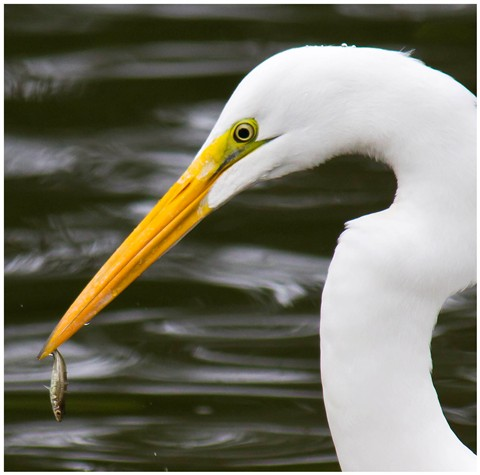 Great White Egret and Fish 05