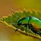 mint beetle (2)