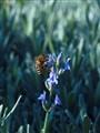 pčela i cvijet lavande