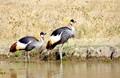 Grey Crowned Cranes - Ngorongoro Crater - Tanzania