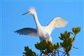 Anowy Egret