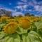 Sunflowers--4