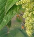 Lavan Island Bees