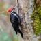 pileatedwoodpecker8
