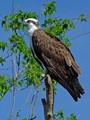Osprey (Pandion haliaetus) - Lk Apopka Loop Trail, Zellwood, FL, USA - Date taken - 02/20/17, 10:37 AM - Photo ID - DSCF0390b - Camera - FinePix X-S1 © 2017 Bill Elvey