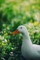 swirly duck