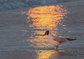 The seagul and the sunset reflection