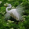 Male Egret in breeding plumage