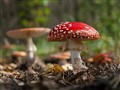 Red Hats (toadstool)