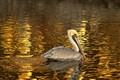 Golden Pelican