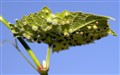 disease of grapevine leaf