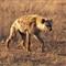 Hyena01_sm
