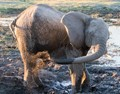 Taken in Chobe National Park, Botswana. A mud bath prior to a quest for mating.