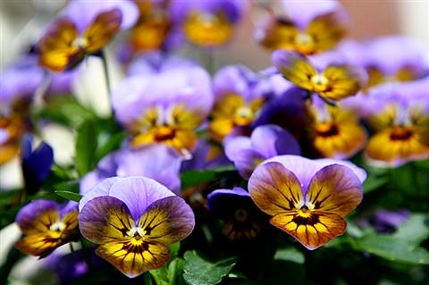 Viola (78967799)