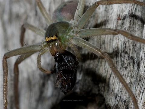 Spiderbeetle_3243