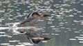 Merganser Taking Flight