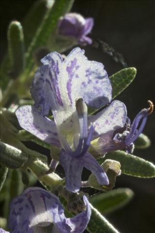 Rosemary 10x PMax