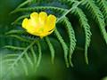 Brennisóley (Ranunculus acris)