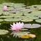 Water Lilies: Frederick Meijer Gardens