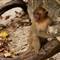Tonsai beac monkey