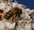 bee in Blackheath, NSW