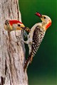 red bellied woodpeckers tending young