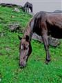 Himalayan Horse