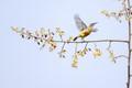 Blue-throated sunbird