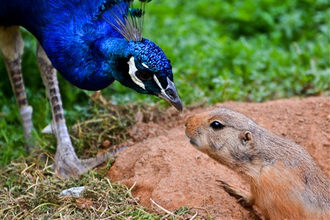 Peacock and Prarie Dog 2