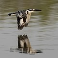 Pied Kingfisher Reflection