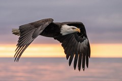 bald eagle at sunset over alaska kachemak bay
