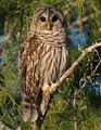 Barred Owl in Cypress tree