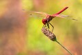 the rare red dragonfly