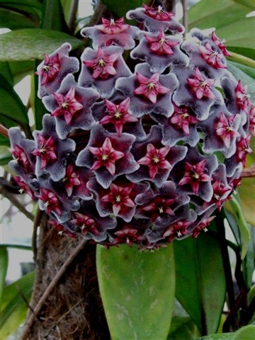 Hoya pubicalex Red Buttons
