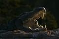 Cauvery croc .