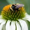 Bumble bee on white coneflower (Echinacea purpurea, white swan cultivar-Asteraceae)