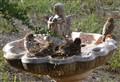 Bathing sparrows