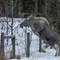 Moose#591_Jan_2013_714