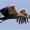 flying_crane
