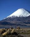 Las vicunas y el volcano