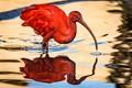 Scarlet Ibis-0927