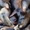 sea lions: